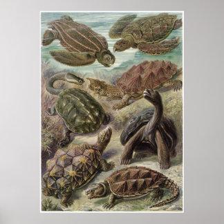 Ernst Haeckel konsttryck: Chelonia Poster