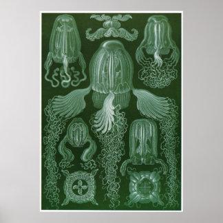 Ernst Haeckel konsttryck: Cubomedusae Poster