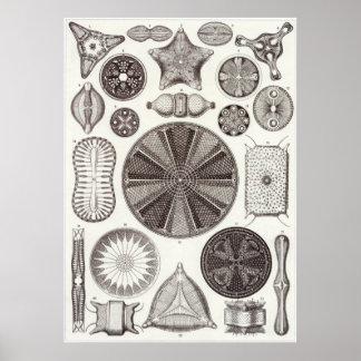 Ernst Haeckel konsttryck: Diatomea Poster