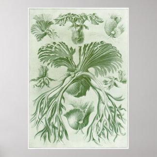 Ernst Haeckel konsttryck: Filicinae Poster