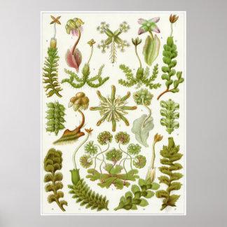 Ernst Haeckel konsttryck: Hepaticae Poster