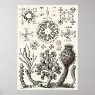 Ernst Haeckel konsttryck: Hexactinellae Poster