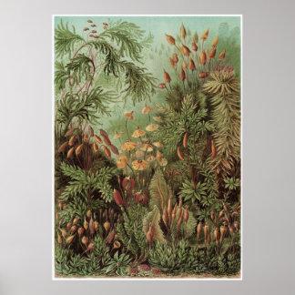 Ernst Haeckel konsttryck: Muscinae Poster