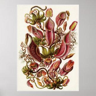Ernst Haeckel konsttryck: Nepenthaceae Poster