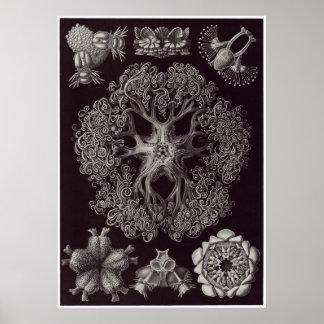 Ernst Haeckel konsttryck: Ophiodea Poster