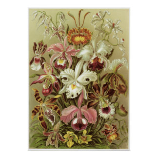 Ernst Haeckel konsttryck: Orchidae Poster