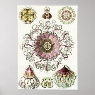 Ernst Haeckel konsttryck: Peromedusae Poster