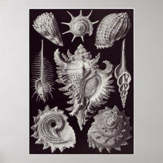 Ernst Haeckel konsttryck: Prosobranchia Poster