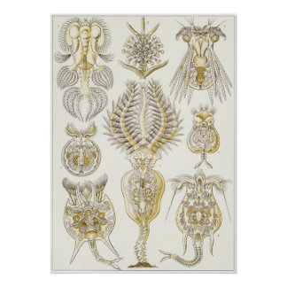 Ernst Haeckel konsttryck: Rotatoria Poster