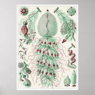 Ernst Haeckel konsttryck: Siphonophorae Poster