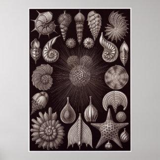 Ernst Haeckel konsttryck: Thalamphora Poster