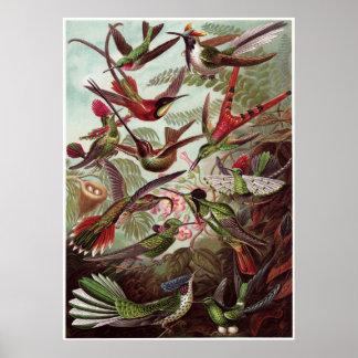 Ernst Haeckel konsttryck: Trochilidae Poster