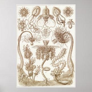 Ernst Haeckel konsttryck: Tubulariae Poster