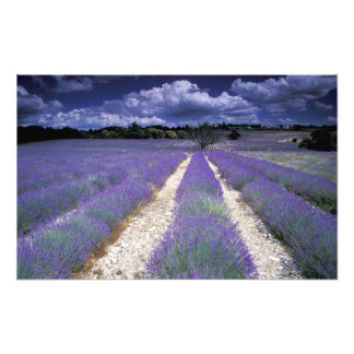 Europa frankrike, Provence. Lavander fält Fototryck