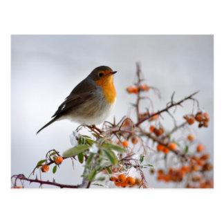 Europé Robin och orange bär Vykort