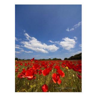Fältfullt av röda blommor vykort