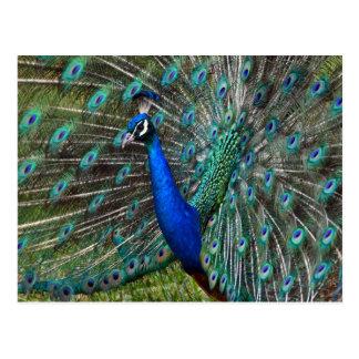 Färgrik male påfågel vykort