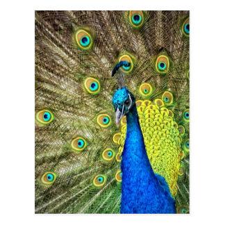 Färgrik påfågel vykort