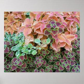 Färgrika regnbågeColeusväxter fotograferar Poster