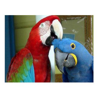 Färgrika röda och blåttMacaws Vykort