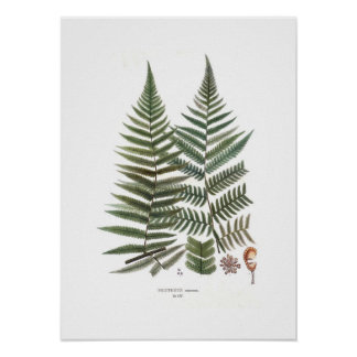 Fern Posters