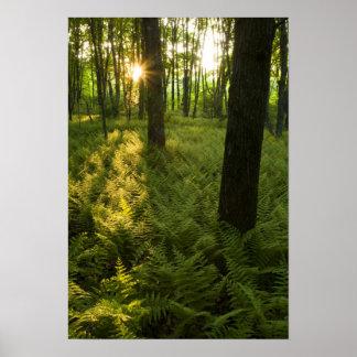 Ferns i skogen i Grafton, Massachusetts. Poster