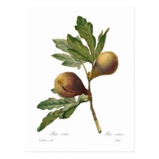 Fig Vykort