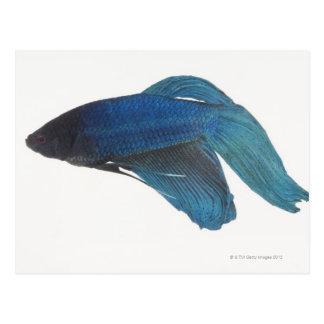 Fisk för stridighet för Betta fisk- eller Vykort