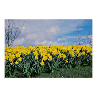 Fjädra påskliljar, Shrewsbury, Shropshire, England Posters