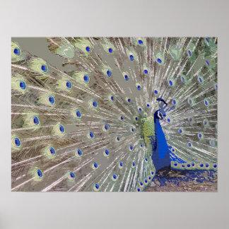 Fjädrar för djur för påfågelfågeldjurliv poster