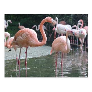 Flamingofåglar Vykort