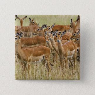 Flock av den kvinnliga impalaen, Masai Mara, Kenya Standard Kanpp Fyrkantig 5.1 Cm