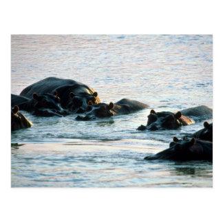 Flodhästar - pod som kopplas av i floden på vykort