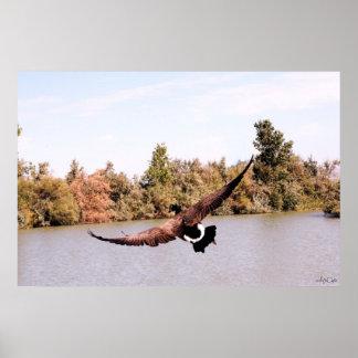 flyga full wingspan för anka över vatten affischer