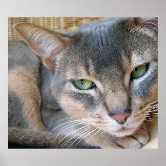 För blåttgrönt för Abyssinian katt stora ögon Poster
