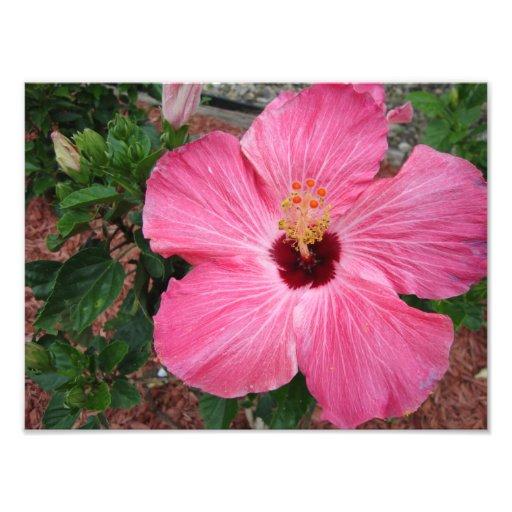 För blommanatur för rosa hibiskus blom- konst för fotografiskt tryck