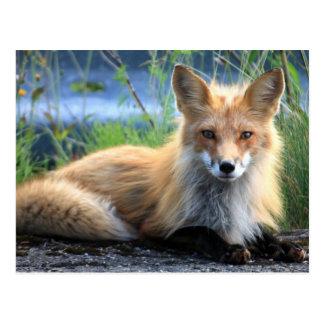För fotoporträtt för röd räv härlig vykort