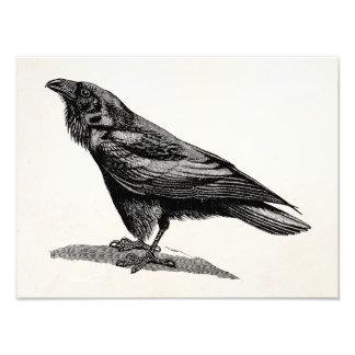 För kråkaBlackbird för vintage korpsvart Fototryck