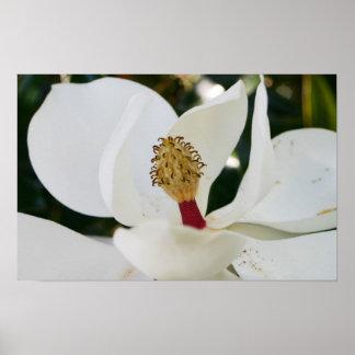 För Magnoliablomma för vit sydlig blommar upp slut Posters