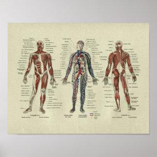 För muskelanatomi för vintage franskt tryck poster