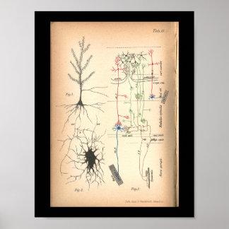För nervNeuron för vintage 1901 tryck för anatomi Poster
