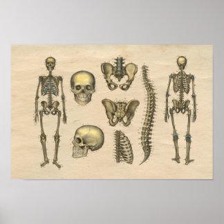 För skallerygg för människa skelett- tryck för poster