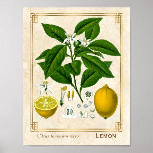 cc03149fe539 För växtcitron för vintage botanisk konst för poster
