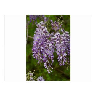 För Wisteriavildblomma för lavendel purpurfärgad Vykort