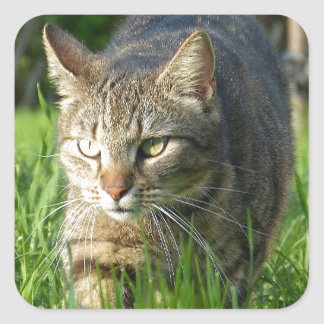 Förfölja för kattunge fyrkantigt klistermärke