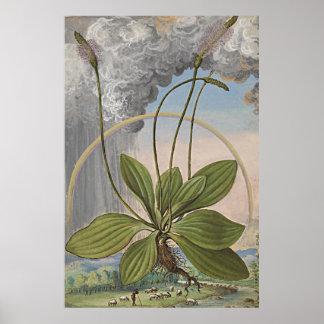 Forntida botanisk konst storbladiga Plaintain Poster