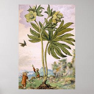 d983a4efb92f Forntida botanisk konstgrönt Helibore Poster