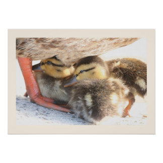 Fotografi för djurliv för ankafågeldjur poster