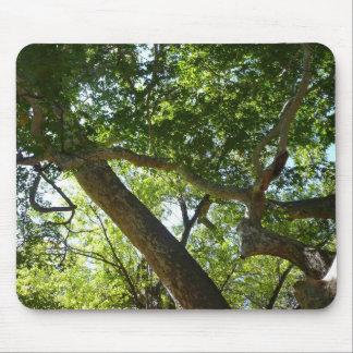 Fotografi för natur för Sycamoreträdgrönt Musmatta