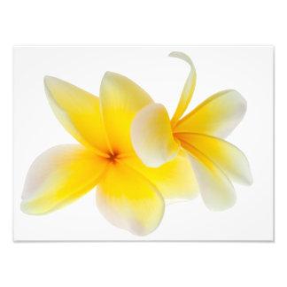 Frangipani för gult för vit för Plumeriablommor Fototryck